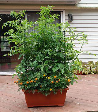 Tomatoes_marigolds