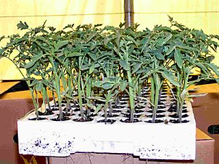 Expanded_polysterene_tray_with_tomato_seedlings
