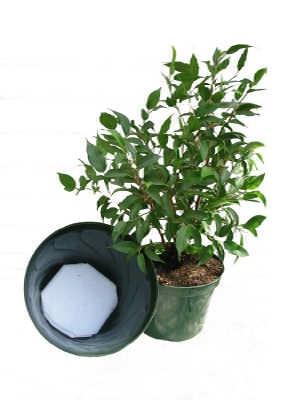 AquaPad Ficus -1