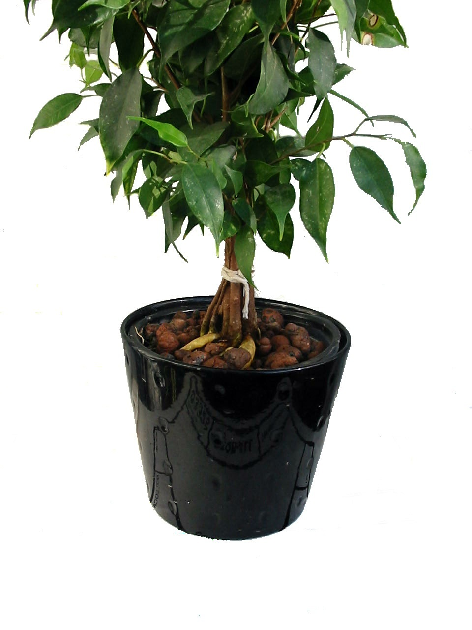 Ficus b 4in. leca close