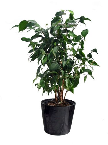 Ficus b 4in. soil