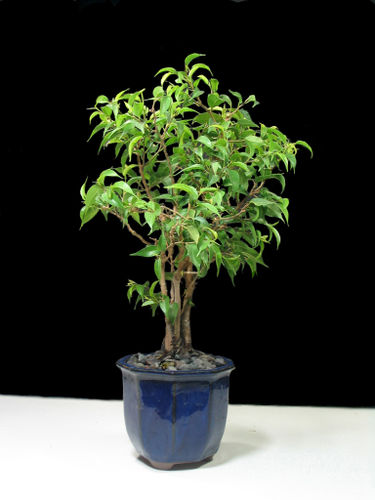 FicusBlueBonsai