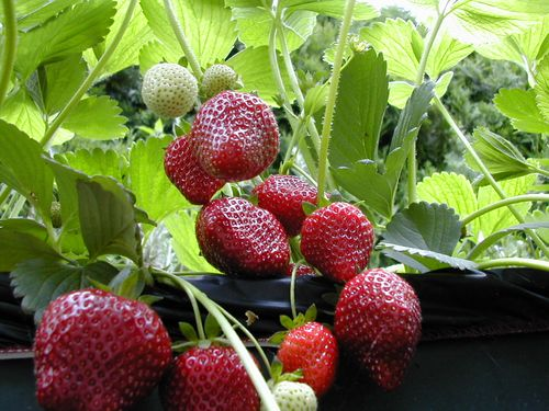 EarthBoxStrawberries-2