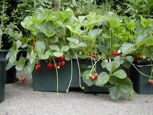 EarthBoxStrawberries-1