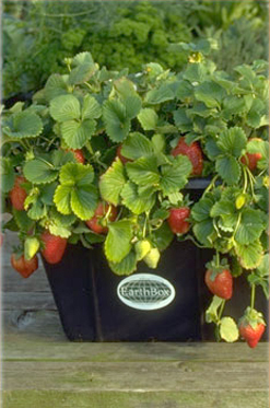 EarthBoxStrawberriesExtPR