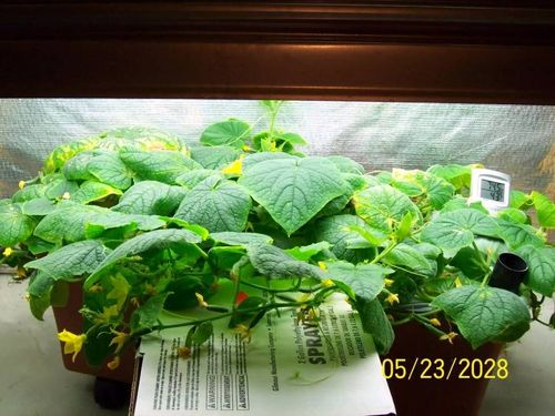 EarthBoxIndoorCucumbers-1
