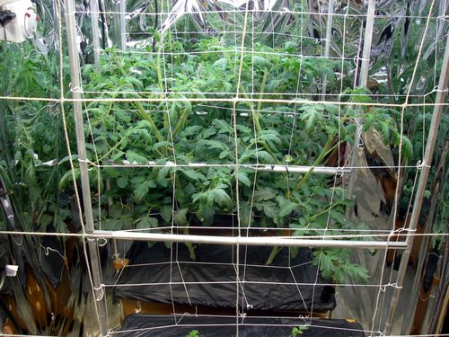EarthBoxIndoorTomatoes-2