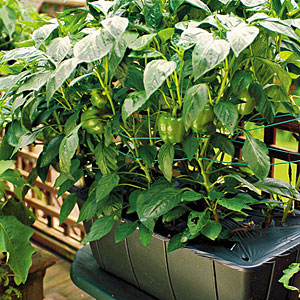 Growing fresh food in sub irrigated planters SIPs like the EarthBox is an excellent choice for all gardeners particularly those new to gardening