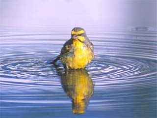 Canary in water