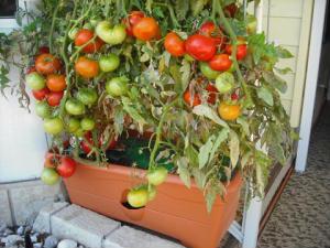 2010 garden patch growbox growing | bob hyland | flickr.