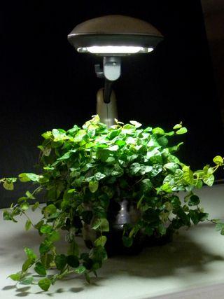 FicusPumilaw:oClayPot