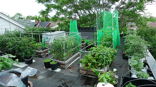 June 25 2011 Roof Top Veggie Garden