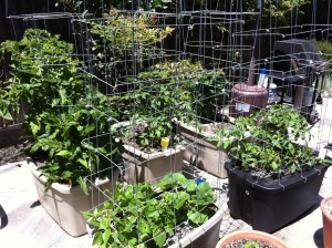 2011.05.21_tomato-crops-300x224.jpg