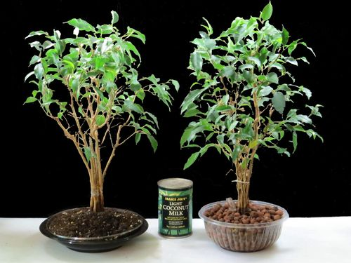 Ficus_bonsai_HC_Soil_Recycled_Containers-4
