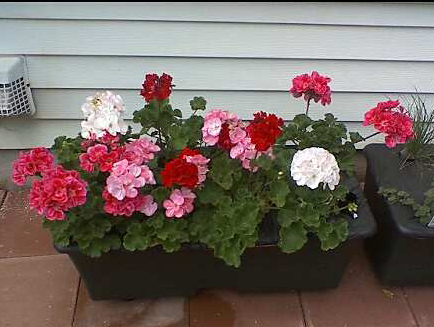 Earthboxgeraniums-2