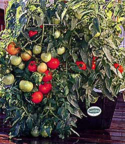 Earthbox_tomatoes
